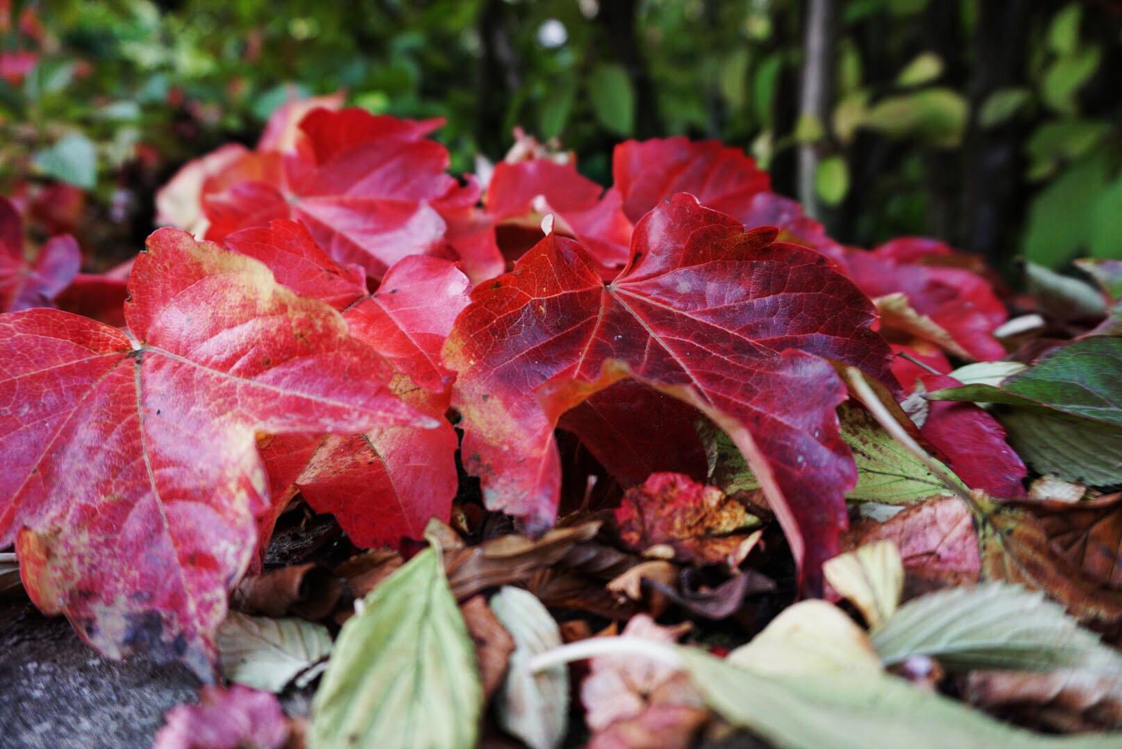 Rote Blätter - Fotoidee für den Herbst